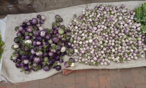 Laos eggplant